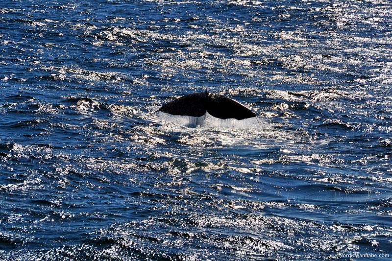 www.NordicWannabe.com Sortland, Walsafari, Wal Safari, Andenes, Lofoten, Andenes, Costa Kreuzfahrt Schiff neo Romantica
