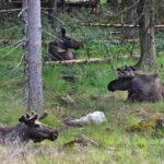 Elchpark Schweden, Grönåsen, Elche, Schweden, Skandinavien, Elche anfassen, BlogElchpark Schweden, Grönåsen, Elche, Schweden, Skandinavien, Elche anfassen, Blog