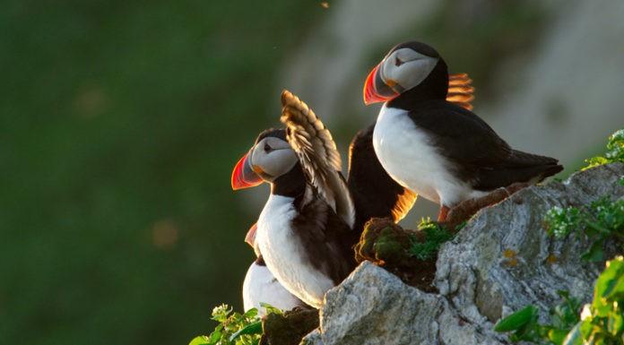 Papageientaucher, Norwegen, Beobachten, Norwegen, Blog, Skandinavien, Wo