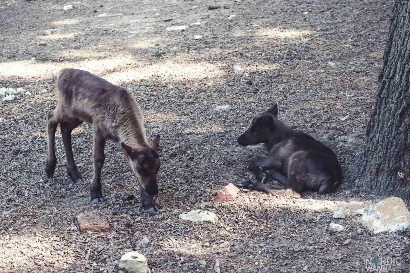 Rentier, Zoo Osnabrück, Tierpatenschaft, Skandinavien, Nordeuropa, Finnland, Schweden, Norwegen