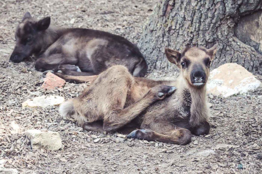 Rentiere, Zoo Osnabrück, Tierpatenschaft, Skandinavien, Nordeuropa, Finnland, Schweden, Norwegen